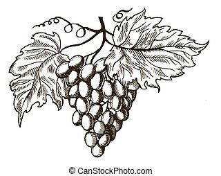 Grapes with leaves engraving vector illustration