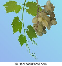 Grapes with leaves on blue background. Vector illustration