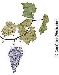 grapes with leaves vector drawing