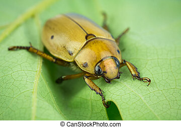 Grapevine beetle closeup - Macro of grapevine scrab beetle,...