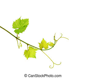 Grapevine branch - Fresh green grapevine, isolated on white...