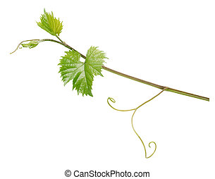 grapevine - Branch of grape vine isolated on white...