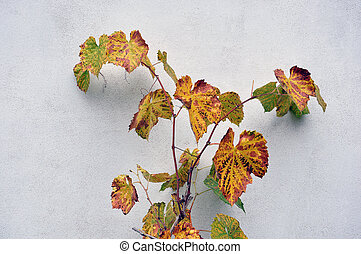 Grapevine growing at the wall of the house