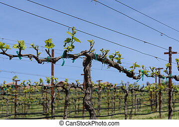 Grapevine in Spring with Blue Sky