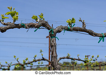 Grapevine in the Spring with Blue Sky