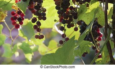 Grapevine in the sun, grape harvest, close up