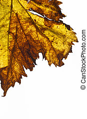 grapevine leaf isolated
