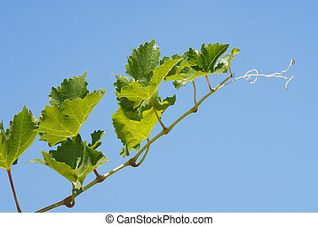 Grapevine on clear sky background