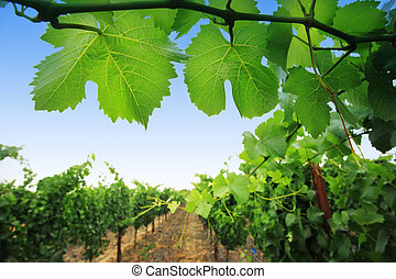Grapevine plants in Napa Valley, California, USA. Shallow ...