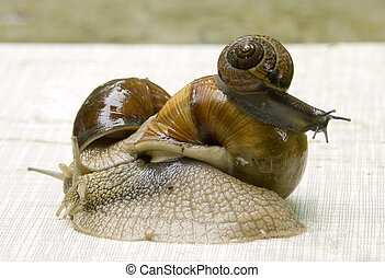 Grapevine snail - 2