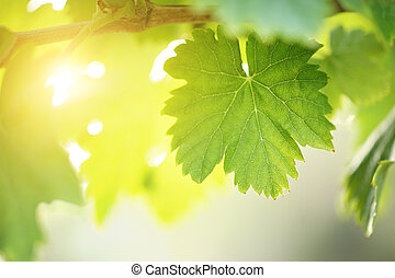 Sunny grape leaf on grapevine. Macro closeup. shallow DOF.