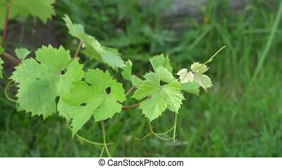 Grapevine swaying on a windy day on green grass background....
