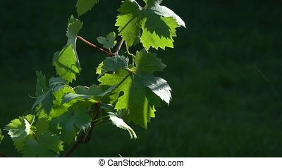 Grapevine with leaves on a sunny day close-up. Farming and...