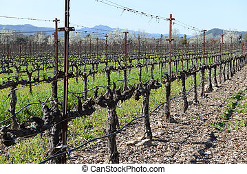 Grapevines in a Row in Napa Valley California