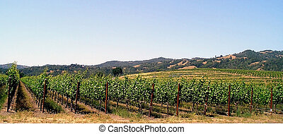 Grapevines in a vineyard,