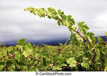 Grapevines in vineyard. Napa, California