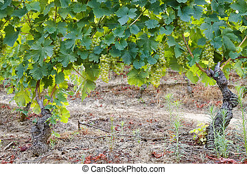 Grapevines of muscat with almost ripe bunches