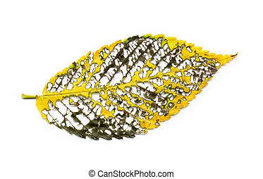 Graphic abstract autumn elm leaf leaves skeletal vein structure on white background