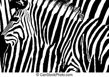 Graphic zebra design with animal blended over itself to create an abstract pattern.