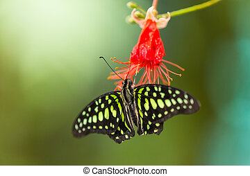Graphium agamemnon on red bloom - Blue morpho (morpho...