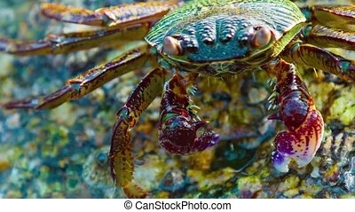 Grapsus tenuicrustatus. Crab feeds on the surface of the stone close up