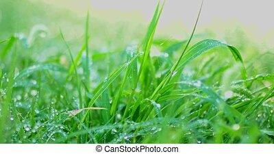 gras, achtergrond, met, waterdruppels, selectief, focus.