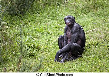gras, bonobo, zittende