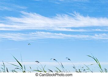 gras, in de wind, op, de, blauwe hemel, met, wolk, lijnen