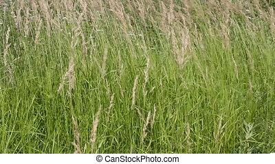 gras, in, een, akker, in de wind