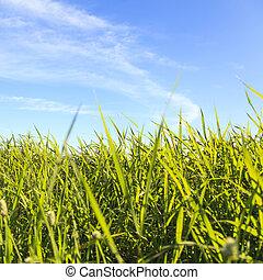 gras, landschaft, mit, blauer himmel
