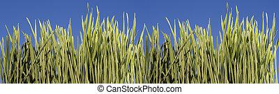gras, mit, blauer himmel