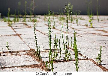 gras, sprouted, durch, der, pflastern, platten