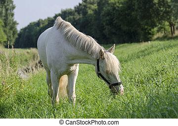 Grasendes Connemara Pony