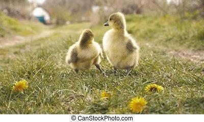 grass., 귀여운, gosling's, 목초지, 쉬는 것