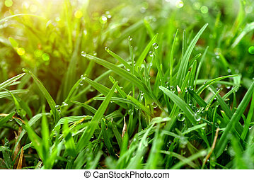 Grass and dew in the garden.