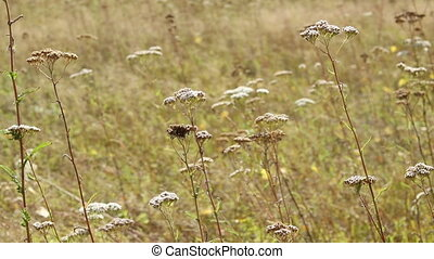 Grass and flowers in the autumn field foreground. Yarrow on...