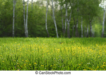Grass and flowers on spring glade in birch forest. Shallow depth of field