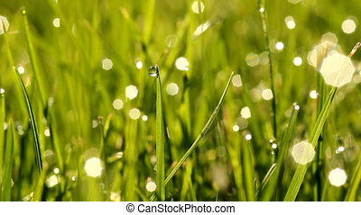 grass at early morning