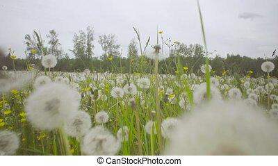 Grass at summer day - Dolly shot close up of grass at summer...