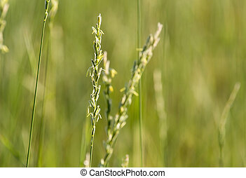 Grass at sunset in nature