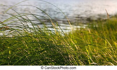Grass at sunset. Nature composition. - Grass at sunsett....