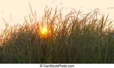 Grass at sunset. Slow motion . Close up - Grass at sunset,...