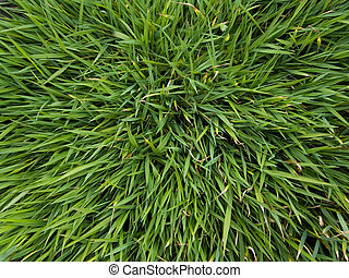 Grass - Background - Close-up of grass