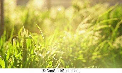 Grass background full of sunset sunshine - Grass background...