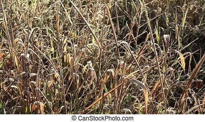 grass bent covered first frost early autumn time in field....