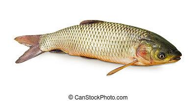 Grass carp on a white background closeup