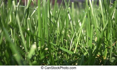 Closeup of grass. A few ants crawl around. Shallow depth of field.