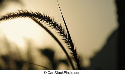 Grass ear spikes silhouette at the sunset. Spikelets are...