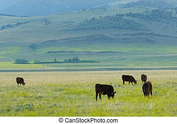 grass-fed, bétail