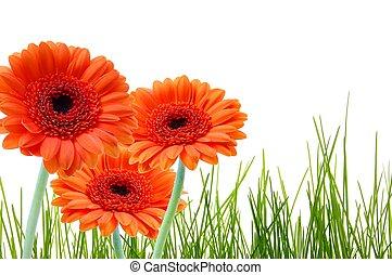 grass flower and copyspace - grass and gerbera daisy flower...